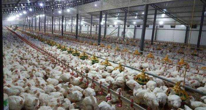tavuk çiftliği açmak, tavuk çiftliği nasıl kurulur