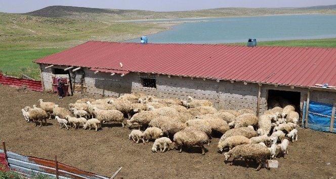 koyun yetiştiriciliği nasıl yapılır