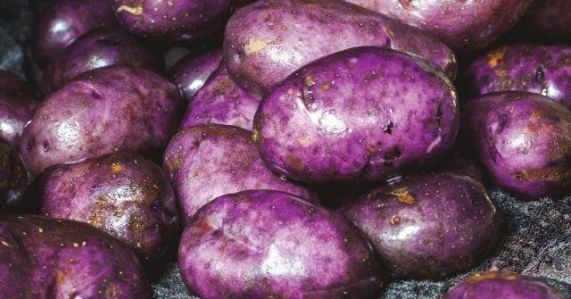 mor patates yetiştiriciliği