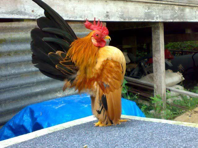 serama tavuk