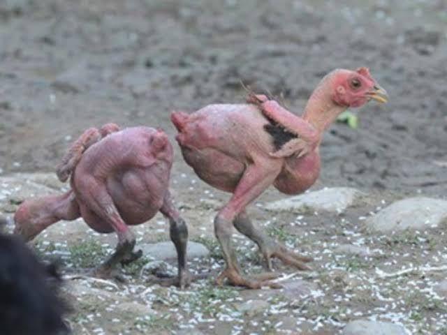 tüysüz tavuk